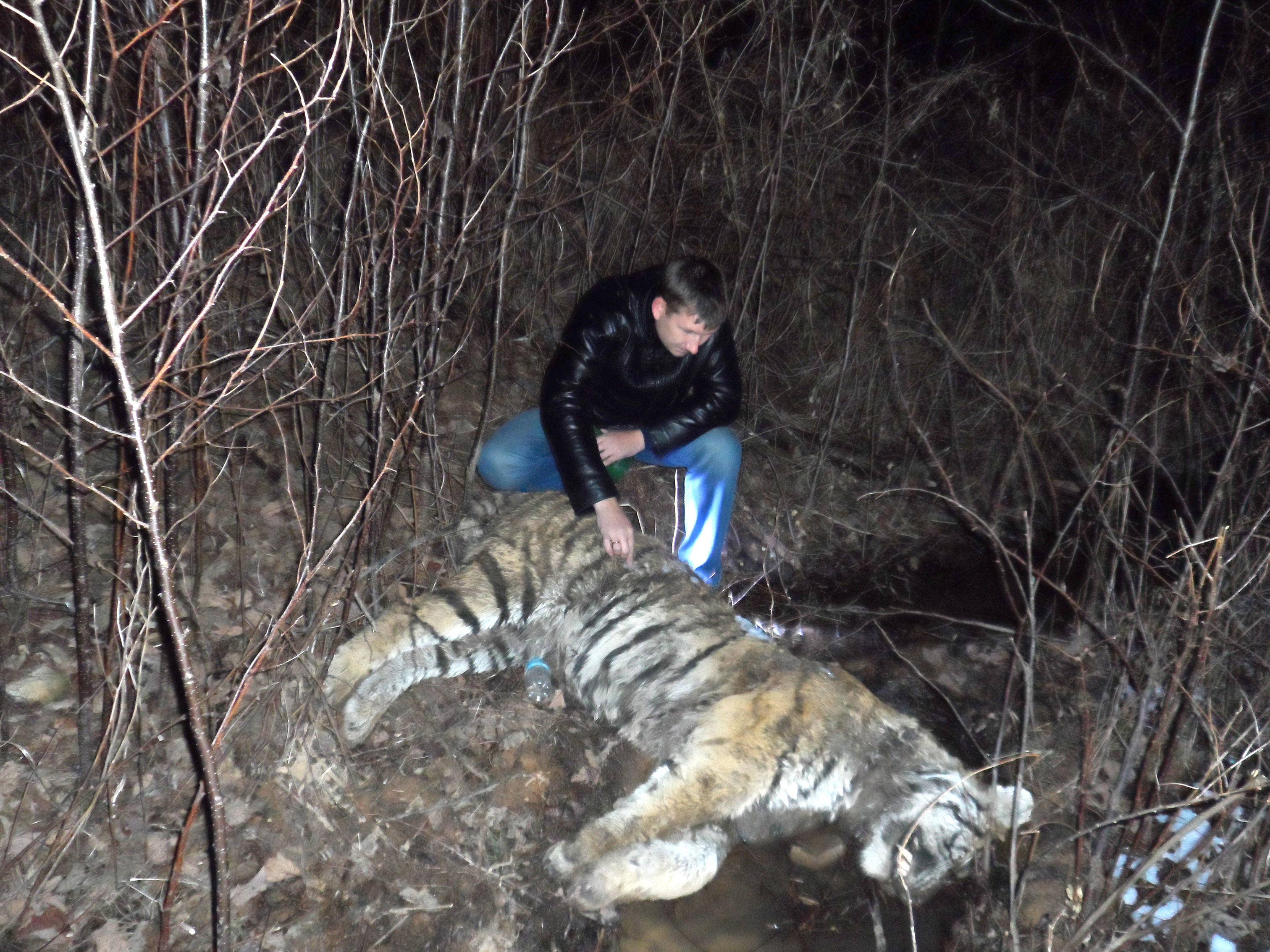 Scene of the crime. A dead tiger / (c) Land of the Leopard National Park