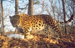 леопард зимой