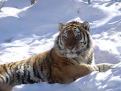 тигр на снегу
