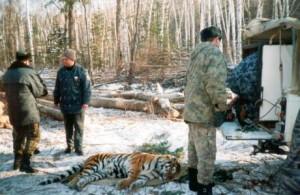Разрешение конфликтных ситуаций между тигром и человеком